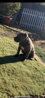 American Pit Bull Terrier Puppies for sale in 20550 Lee Rd, Perris, CA 92570, USA. price: NA