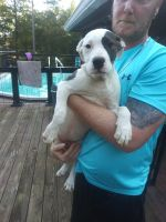 American Pit Bull Terrier Puppies for sale in 115 Woods Edge Dr, Athens, GA 30607, USA. price: NA