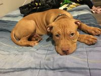 American Pit Bull Terrier Puppies for sale in Irving, TX, USA. price: NA