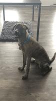 American Pit Bull Terrier Puppies for sale in Atlanta, GA, USA. price: NA