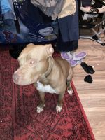 American Pit Bull Terrier Puppies for sale in 3769 Carlyle Dr, Las Vegas, NV 89115, USA. price: NA