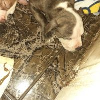 American Pit Bull Terrier Puppies for sale in Kissimmee, FL 34746, USA. price: NA