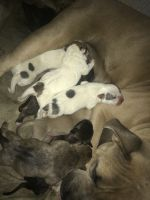 American Pit Bull Terrier Puppies for sale in Houston, TX 77091, USA. price: NA
