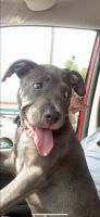 American Pit Bull Terrier Puppies for sale in Richmond, VA, USA. price: NA
