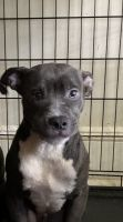 American Pit Bull Terrier Puppies for sale in Albany, NY 12210, USA. price: NA