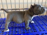 American Pit Bull Terrier Puppies for sale in Long Beach, CA, USA. price: NA