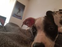 American Pit Bull Terrier Puppies for sale in Ogden, UT, USA. price: NA