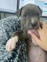 American Pit Bull Terrier Puppies for sale in Davenport, FL, USA. price: NA