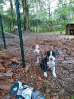 American Pit Bull Terrier Puppies for sale in Pasco County, FL, USA. price: NA