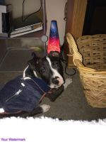 American Pit Bull Terrier Puppies for sale in Beaverton, OR, USA. price: NA