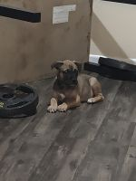 American Pit Bull Terrier Puppies for sale in Dupage County, IL, USA. price: NA
