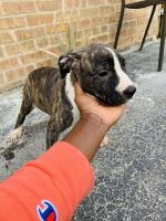 American Pit Bull Terrier Puppies for sale in South Holland, IL, USA. price: NA