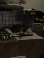 American Pit Bull Terrier Puppies for sale in Kissimmee, FL 34744, USA. price: NA