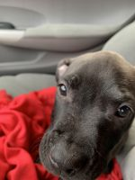 American Pit Bull Terrier Puppies for sale in Madison, WI, USA. price: NA