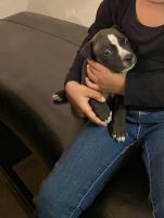 American Pit Bull Terrier Puppies for sale in 605 Rancho Dr, Mesquite, TX 75149, USA. price: NA