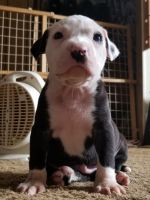 American Pit Bull Terrier Puppies for sale in Colorado Springs, CO 80916, USA. price: NA