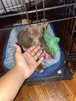 American Pit Bull Terrier Puppies for sale in Southfield, MI, USA. price: NA