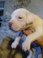 American Pit Bull Terrier Puppies for sale in Viola, AR 72583, USA. price: NA