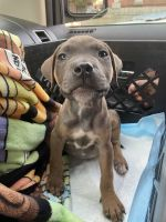 American Pit Bull Terrier Puppies for sale in Staten Island, NY, USA. price: NA