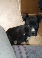 American Pit Bull Terrier Puppies for sale in Odessa, TX 79761, USA. price: NA
