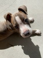 American Pit Bull Terrier Puppies for sale in Fort Stewart, GA 31313, USA. price: NA