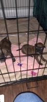 American Pit Bull Terrier Puppies for sale in Louisville, KY, USA. price: NA