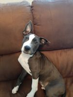 American Pit Bull Terrier Puppies for sale in Bastrop, TX 78602, USA. price: NA
