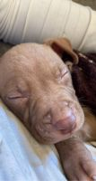 American Pit Bull Terrier Puppies for sale in New Orleans, LA, USA. price: NA