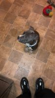 American Pit Bull Terrier Puppies for sale in Chicago, IL, USA. price: NA