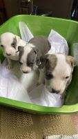 American Pit Bull Terrier Puppies for sale in Alexandria, VA 22304, USA. price: NA