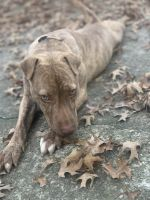 American Pit Bull Terrier Puppies for sale in Lithonia, GA 30058, USA. price: NA