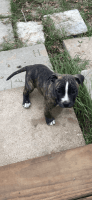 American Pit Bull Terrier Puppies for sale in Angleton, TX 77515, USA. price: NA