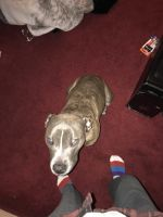 American Pit Bull Terrier Puppies for sale in Trenton, NJ 08620, USA. price: NA