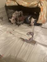 American Pit Bull Terrier Puppies for sale in Katy, TX 77450, USA. price: NA