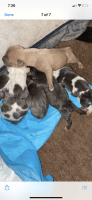 American Pit Bull Terrier Puppies for sale in Freeport, NY, USA. price: NA