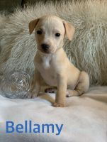 American Pit Bull Terrier Puppies for sale in Sacramento, CA, USA. price: NA