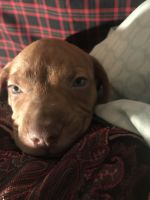 American Pit Bull Terrier Puppies for sale in Moses Lake, WA 98837, USA. price: NA