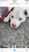 American Pit Bull Terrier Puppies for sale in 1615 MacArthur Blvd, Oakland, CA 94602, USA. price: NA