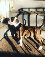 American Pit Bull Terrier Puppies for sale in Paterson, NJ, USA. price: NA