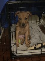 American Pit Bull Terrier Puppies for sale in Lisle, IL, USA. price: NA