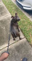American Pit Bull Terrier Puppies for sale in Melbourne, FL, USA. price: NA