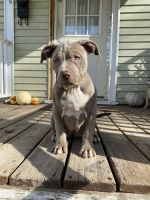 American Pit Bull Terrier Puppies for sale in Syracuse, NY, USA. price: NA