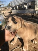 American Pit Bull Terrier Puppies for sale in El Paso, TX, USA. price: NA