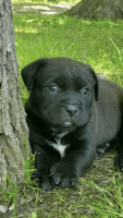 American Pit Bull Terrier Puppies for sale in Port Jefferson Station, NY, USA. price: NA