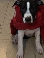 American Pit Bull Terrier Puppies for sale in 301 Garlington Ave, Waycross, GA 31503, USA. price: NA