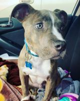 American Pit Bull Terrier Puppies for sale in Salem, OR 97302, USA. price: NA