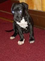 American Pit Bull Terrier Puppies for sale in Buffalo, NY, USA. price: NA