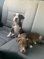 American Pit Bull Terrier Puppies for sale in Inman, SC 29349, USA. price: NA