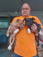American Pit Bull Terrier Puppies for sale in Joplin, MO, USA. price: NA