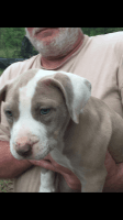 American Pit Bull Terrier Puppies for sale in West Monroe, LA, USA. price: NA